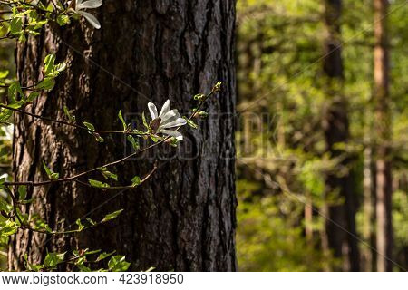 Creamy Magnolia Flower At Pine Tree Background. White Magnolia Branch Blooming At Tree Trunk. Creamy