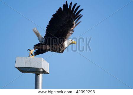 Southern Bald Eagle (haliaeetus Leucocephalus)
