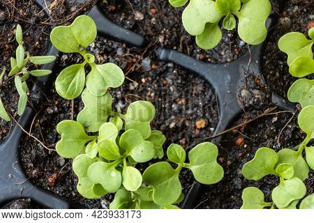 Overhead View Of Germinated Chinese Flower Cabbage Or Choy Sum With New True Leaves, Other Than The