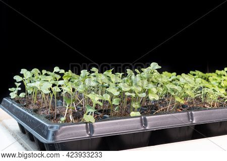Chinese Kale, Spinach And Cabbage Baby Vegetable Grew On Seeding Germination Tray