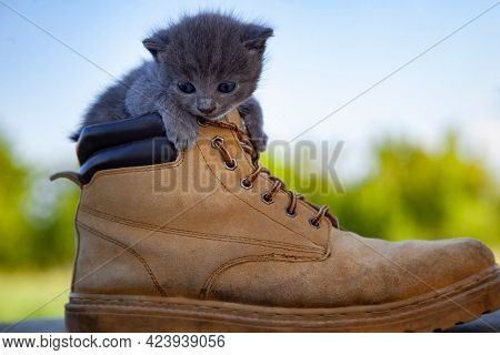 Kitten in the boot, little cat smoky color and blue eyes , in the summer green nature background