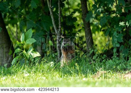 A Groundhog Sitting In The Bushes And Eating Leaves.