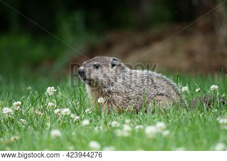 A Groundhog Standing In A Patch Of Clover In The Lawn.
