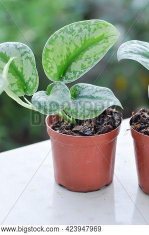 Satin Pothos, Silver Hilodendron Or Scindapsus Pictus Hassk Or Argyreus Plant