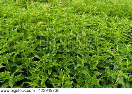 Juicy, Green Background From Thickets Of Nettles. Urtica Dioica, Common Nettle, Stinging Nettle. Den