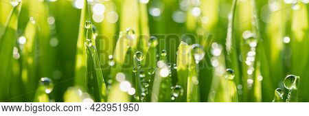 Wet Spring Green Grass Backround With Dew Lawn Natural. Beautiful Water Drop Sparkle In Sun On Leaf