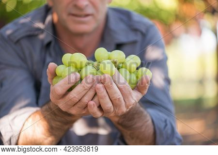 Man Holding Bunch Of White Grapes In Hands. Seasonal Harvesting In Countryside Garden. Close-up Male