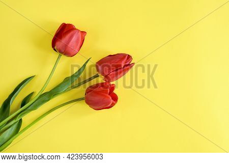 Three Fresh Red Tulips On Yellow Background, Bouquet Of Spring Flowers. Top View. Close-up. Copy Spa