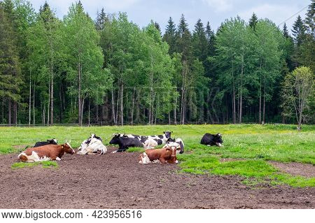 A View Of The Pasture Against The Backdrop Of Green Trees, On Which Several Well-fed Farm Cows Lie.