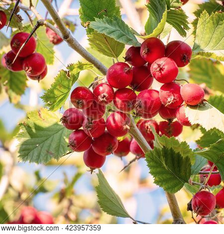Red Ripe Hawthorn Berries On The Branches In The Garden In The Sunlight. Crataegus Laevigata. Select