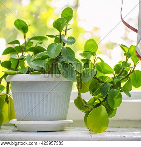 Indoor Plant Peperomia In A White Pot On The Windowsill By The Window
