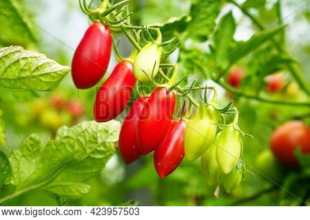 Beautiful Ripe And Unripe Tomatoes On A Bush In The Garden