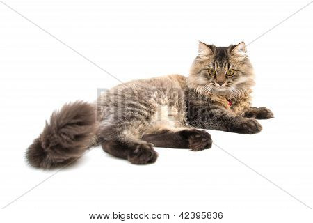 Persian Cat Lay On The Floor