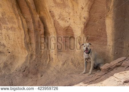 A Domestic Dog Resting In The Shade Next To A Uniqer Sedimentary Rock Wall, In The Timna Valley Park