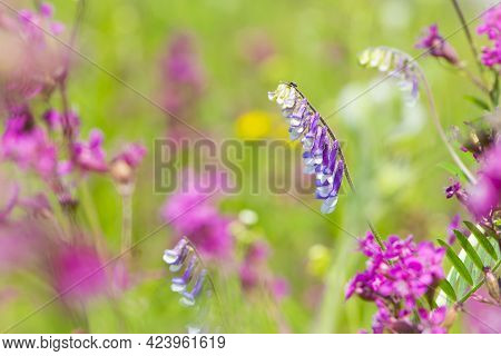 Vicia Villosa. Flowering Purple Hairy Vetch Plant In A Meadow, Selective Focus With Bokeh Backround.