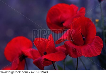 Flowers Red Poppies Bloom In A Wild Field. Beautiful Field Of Red Poppies With Selective Focus And C