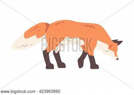 Red Fox, Side View Of Wild Predator Forest Mammal Animal Cartoon Vector Illustration