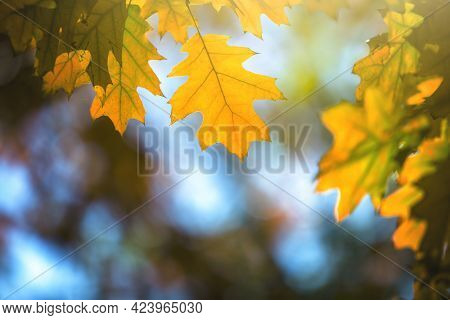 Close Up Of Bright Yellow And Red Maple Leaves On Fall Tree Branches With Vibrant Blurred Background