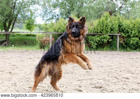 Long Haired German Shepherd Dog During Jumping Training On Sandy Track. German Shepherd Dog Train Of