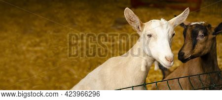 Close-up Photos Of Goats With Passion Faces At The Corral Of Farm. Lovely Couple Little Black And Br