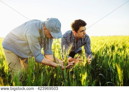 Two Farm Workers Are Checking The Quality Of The New Crop Wheat Spikelets And Plan The Time Of Harve