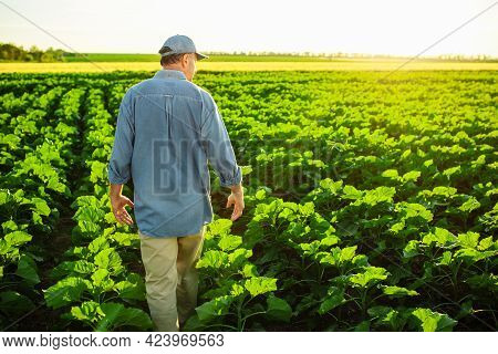 A Man Farm Worker Walks Along The Rows Of Young Green Sunflowers In The Field On The Sunset. Farmer