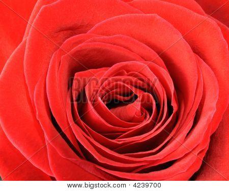 Rode Rose Closeup