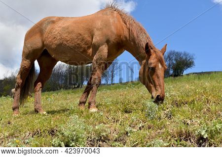 Brown Horse Grazing In A Pasture In Alpine Mountain