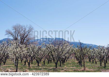 Blossoming Spring Orchard In Western Colorado With The Grand Mesa In The Background