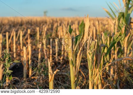 Cut Corn Stubble And Chaff In An Autumn Field During The Harvesting Of The Maize Crop At Sunset