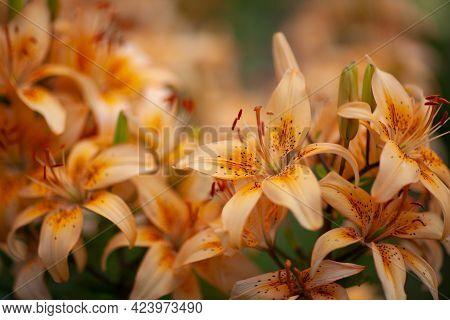 Close-up Of The Orange Asiatic Lilies (lilium Hybridum). Blooming Orange Lily Flowers. Shallow Focus