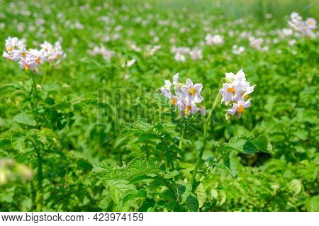 White Blooming Potato Flowers Growing On Farm Field In Summer Close Up