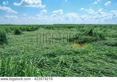 Field Of Lying Broken Green Young Unripe Wheat After A Thunderstorm With Hail, Concept Of Losses Fro