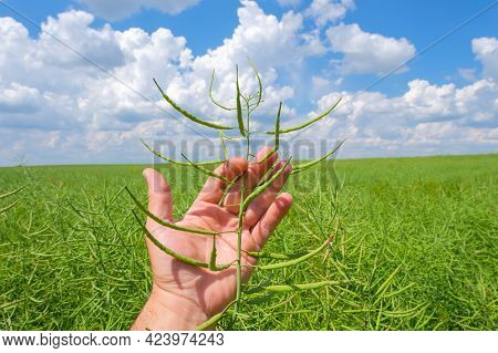 Close-up Of Green Unripe Pod Of Rapeseed In A Man's Hand Against The Background Of A Cloudy Blue Sky