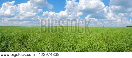 Panorama Of Field Of Green Unripe Rape Oilseed On A Cloudy Blue Sky Background In Summer. Unripe You