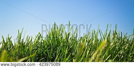 Green Grass Nature Background And Blue Sky, Natural Texture Of Plant In Close-up, Green Lawn Pattern