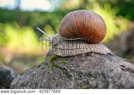 A Snail Crawls On A Stone With Green Moss. Close-up Image Of A Snail On A Green Background.
