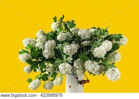 White Spherical Flowers Of Snowball Tree On A Yellow Background. Viburnum Opulus, Viburnum Opulus Ro