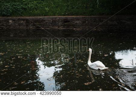 A Beautiful Shot Of Tundra Swan In The Lake