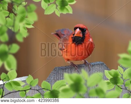 A Closeup Shot Of Male Cardinal Perched On A Wooden Fence