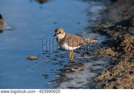Common Ringed Plover, Charadius Hiaticula Foraging Along The Muddy Shoreline. Ghadira Nature Reserve