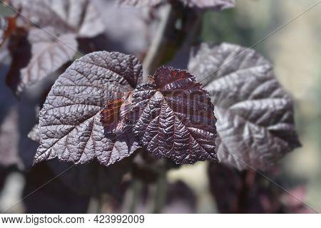 Purple Hazel Leaves - Latin Name - Corylus Maxima Purpurea