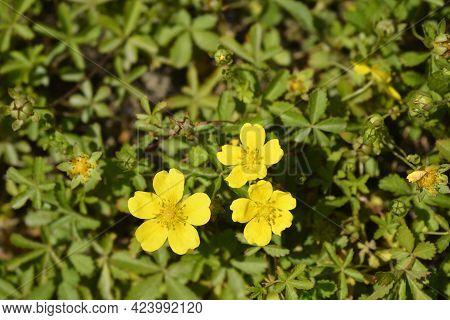 Creeping Cinquefoil Yellow Flowers - Latin Name - Potentilla Reptans