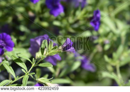 Million Bells Double Blue Flower Bud - Latin Name - Calibrachoa Hybrid