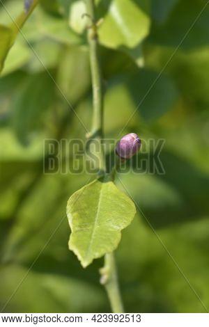 Lemon Flower Bud - Latin Name - Citrus Limon