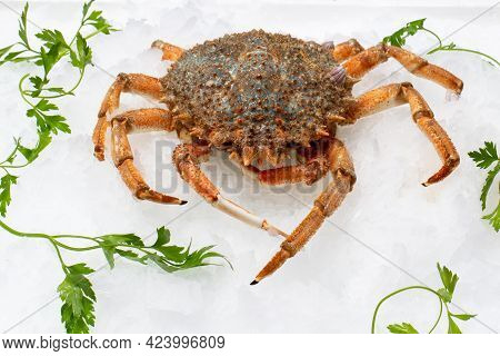 Close Up Of Fresh European Spider Crab On Crushed Ice With Green Decorative Parsley Leaves.