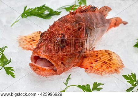 Close Up Of Fresh Red Scorpionfish On Crushed Ice Cubes With Decorative Green Parsley Leaves.