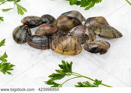 Close Up Of Fresh Saltwater Grooved Carpet Shell Clams On Crushed Ice With Green Decorative Parsley