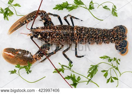 Top View Of Fresh American Lobster On Crushed Ice With Green Decorative Parsley Leaves.
