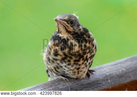 Chick Of Fieldfare Are Sitting On Handrail. Summer Season In Lithuania